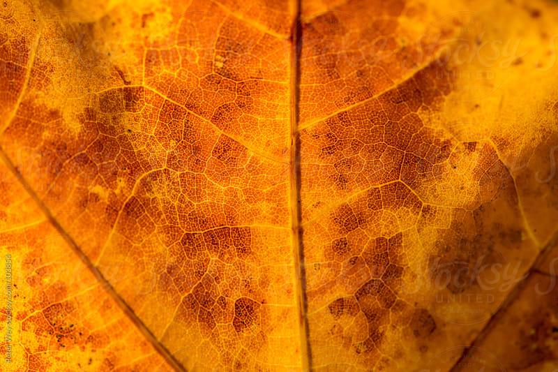 maple leaf macro by Peter Wey for Stocksy United