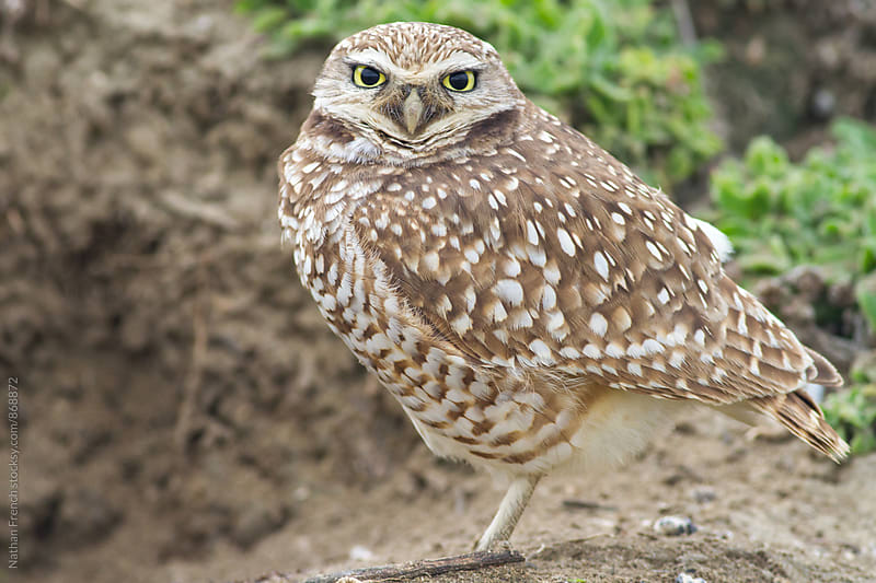 Burrowing Owl by its Burrow by Nathan French for Stocksy United