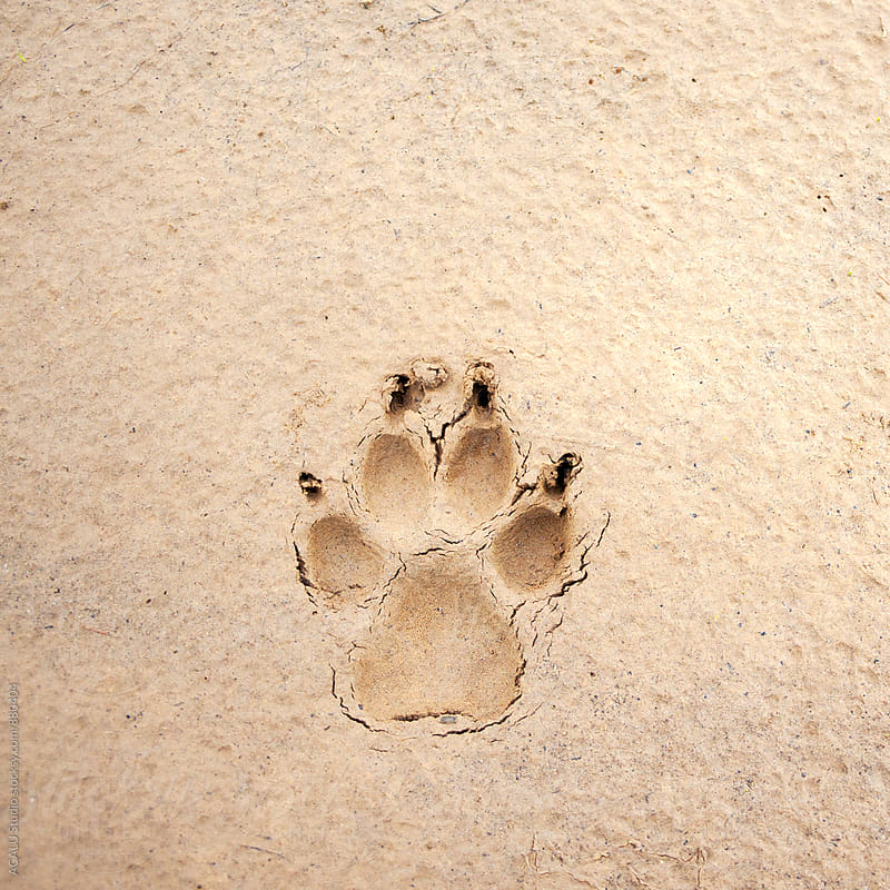 Dog footprints in the sand by ACALU Studio for Stocksy United