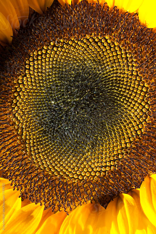 closeup microphotograph macro sunflower Helianthus seeds seedhead by Ron Mellott for Stocksy United