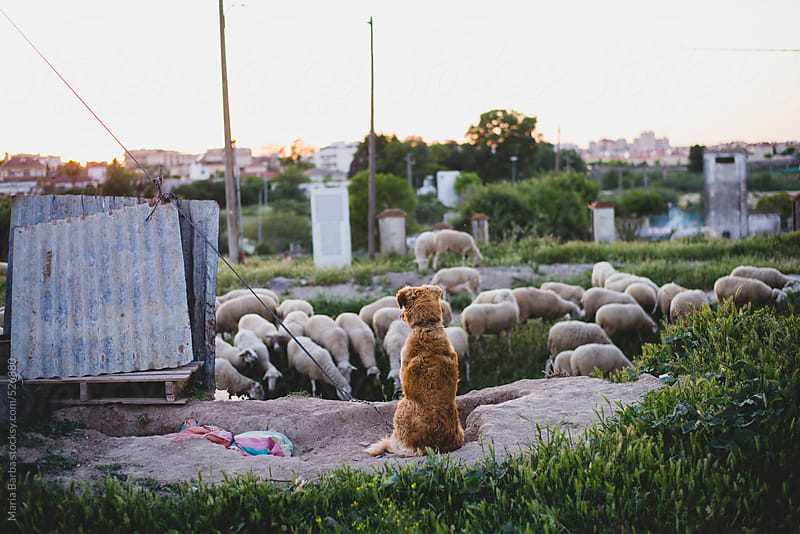 Tied dog watching a flock of sheep passing by by María Barba for Stocksy United