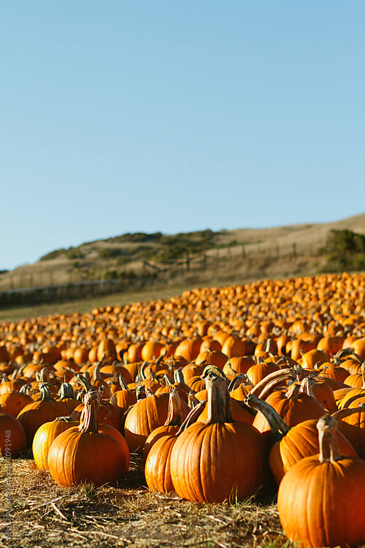 Pumpkins in a large pumpkin patch by Jess Lewis for Stocksy United
