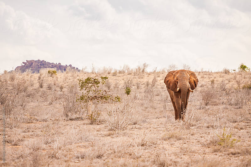 Elephant in the savannah by michela ravasio for Stocksy United