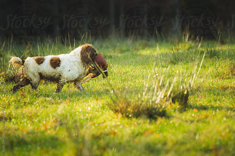A gun-dog retrieves a shot pheasant during a shoot by Andy Campbell for Stocksy United