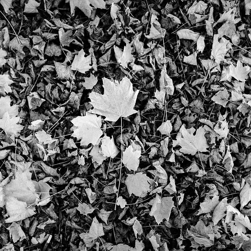 Fallen Maple Leaves Background by Cameron Whitman for Stocksy United
