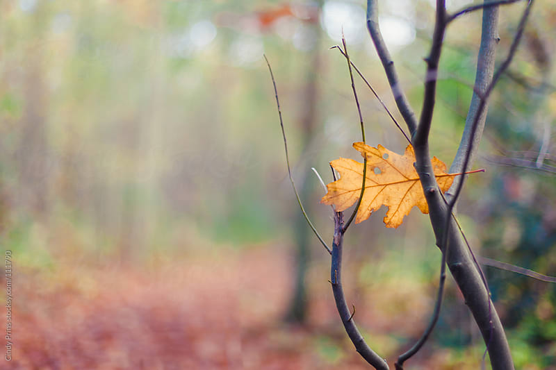 Yellow autumn leaf stuck between bare branches by Cindy Prins for Stocksy United