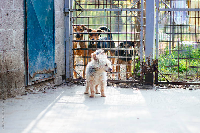 Half Yorkshire dog standing in front of fence with other dogs behind the fence looking at him by Laura Stolfi for Stocksy United