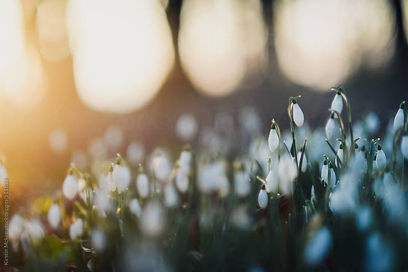 A cluster of snowdrops in a wood in winter by Kirstin Mckee for Stocksy United