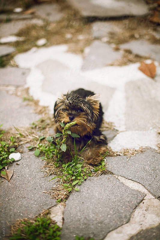 Yorkshire puppy dog sniffing wild grass and playing around in garden by Laura Stolfi for Stocksy United