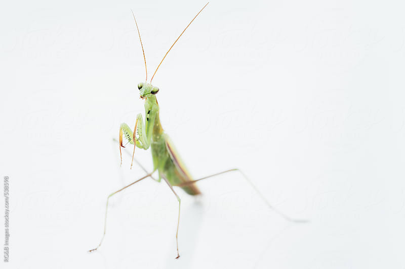 Parying mantis  by RG&B Images for Stocksy United