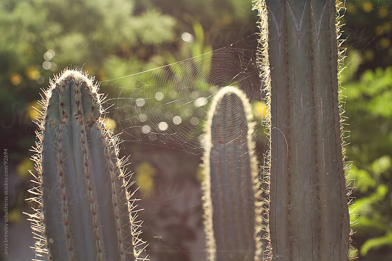 Strings of spiderweb attached between cactus by anya brewley schultheiss for Stocksy United