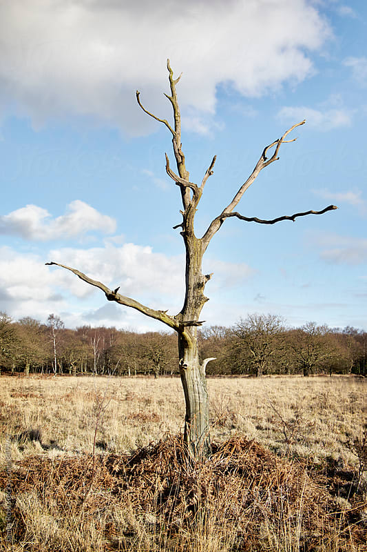 A barren tree in an empty fild by James Ross for Stocksy United