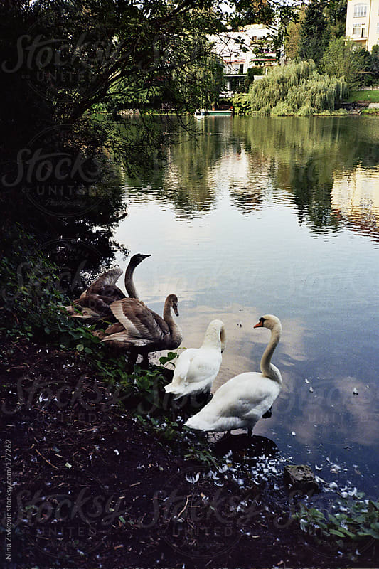 Swans beside the lake. by Nina Zivkovic for Stocksy United