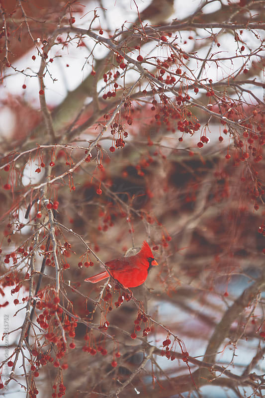 Cardinal on tree branch by Kim Swain for Stocksy United