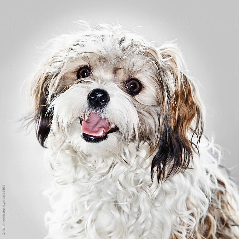 A studio portrait of a curly haired dog by Ania Boniecka for Stocksy United