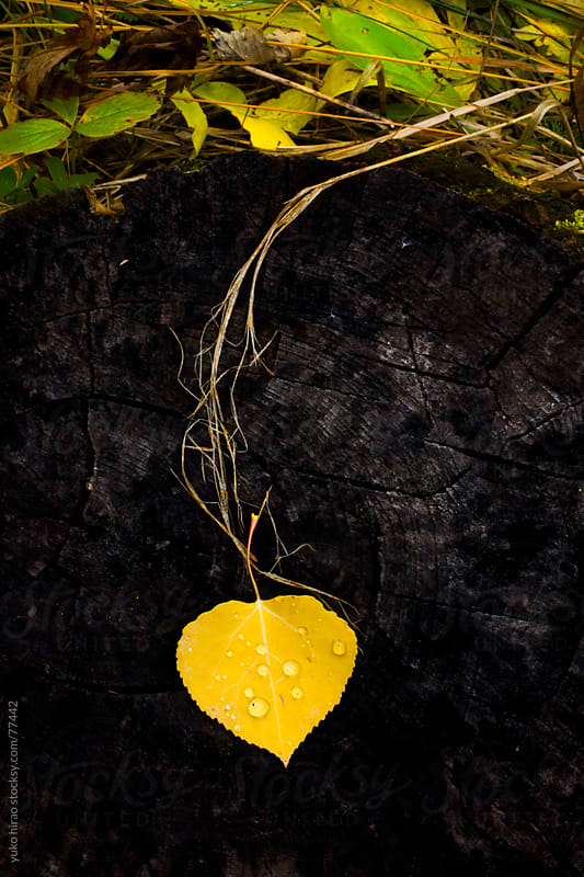 Fallen yellow aspen leaf in rain in autumn by yuko hirao for Stocksy United