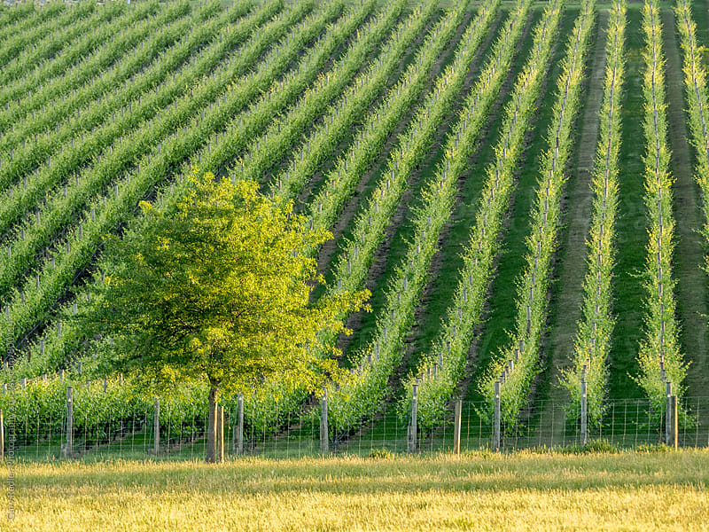 Tree on a Vineyard Boundary by Gary Radler Photography for Stocksy United