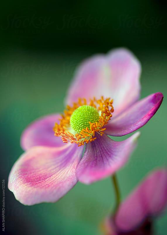 Anemone by ALAN SHAPIRO for Stocksy United