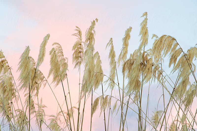 Dry plants against colorful sunset background sky by Matthew Spaulding for Stocksy United