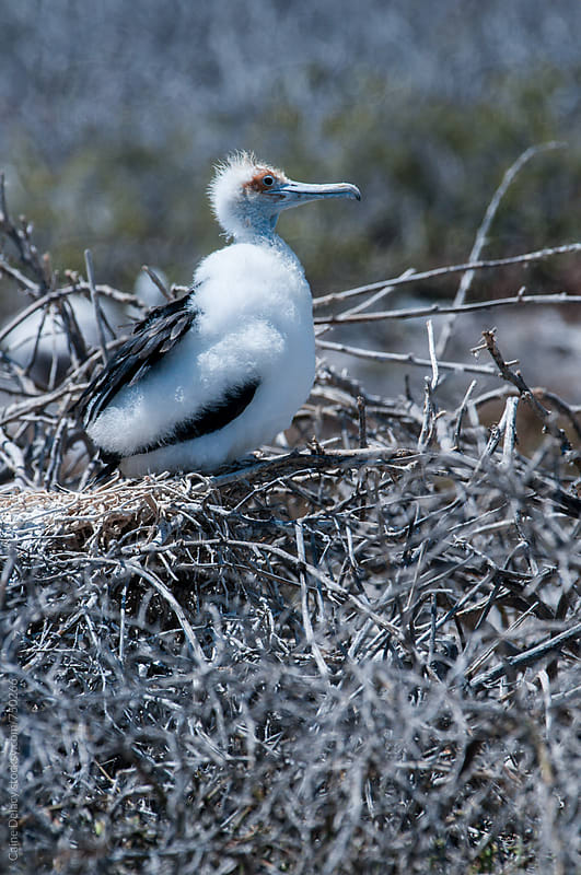 The magnificent frigatebird (Fregata magnificens) juvenile in a nest by Caine Delacy for Stocksy United