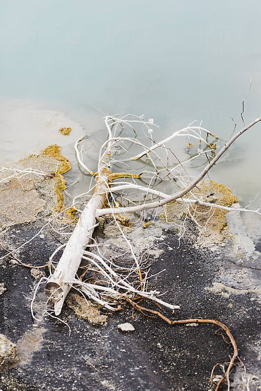 Branch of a dead tree in hot spring at Yellowstone National Park by michela ravasio for Stocksy United