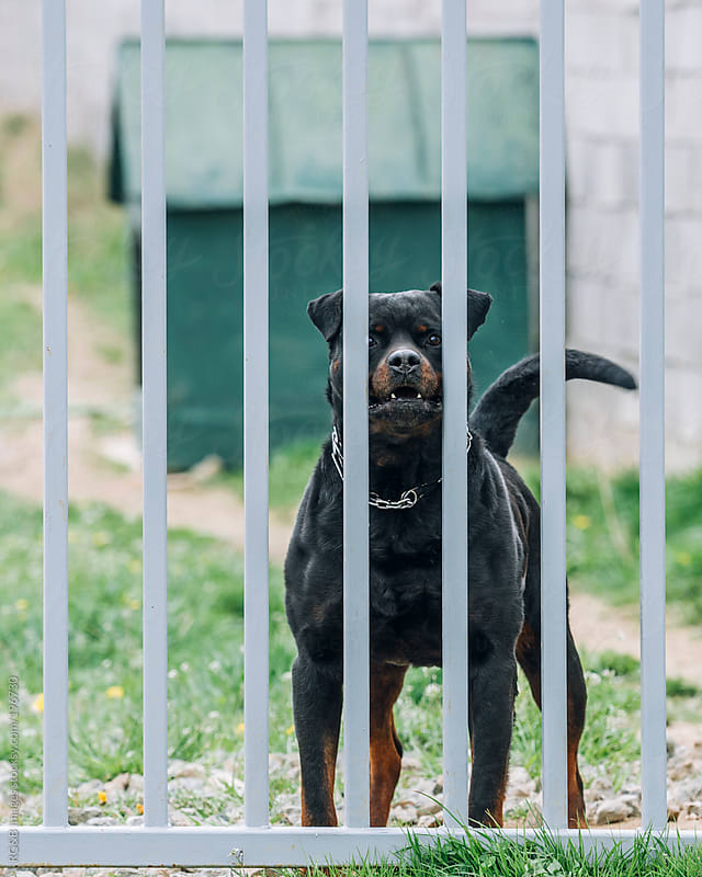 Rottweiler behind fence  by RG&B Images for Stocksy United