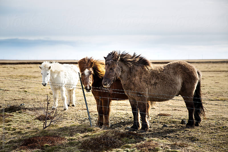 Icelandic horses by Ruth Black for Stocksy United