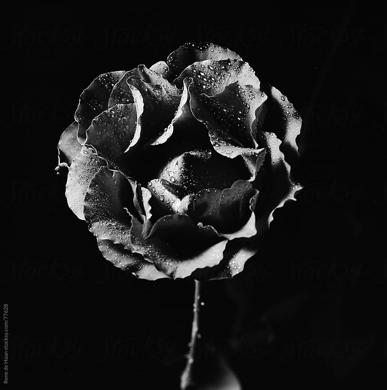 black rose by Rene de Haan for Stocksy United
