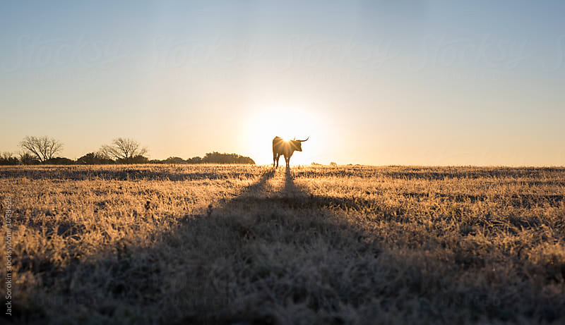 Texas Longhorn Silhouetted  By Rising Sun by Jack Sorokin for Stocksy United
