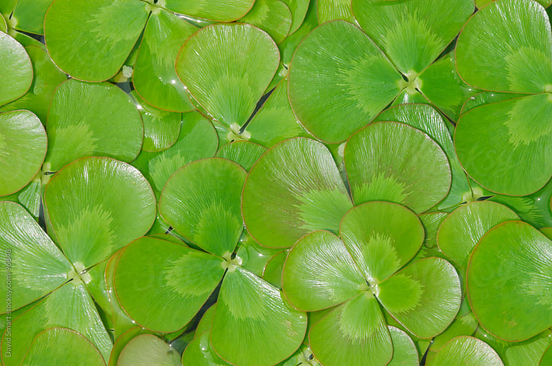 Aquatic Four-Leaf Clover floating on water's surface by David Smart for Stocksy United