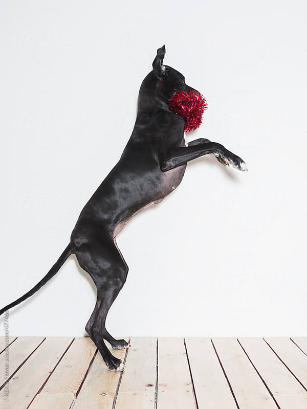 Christmas dog by T-REX & Flower for Stocksy United