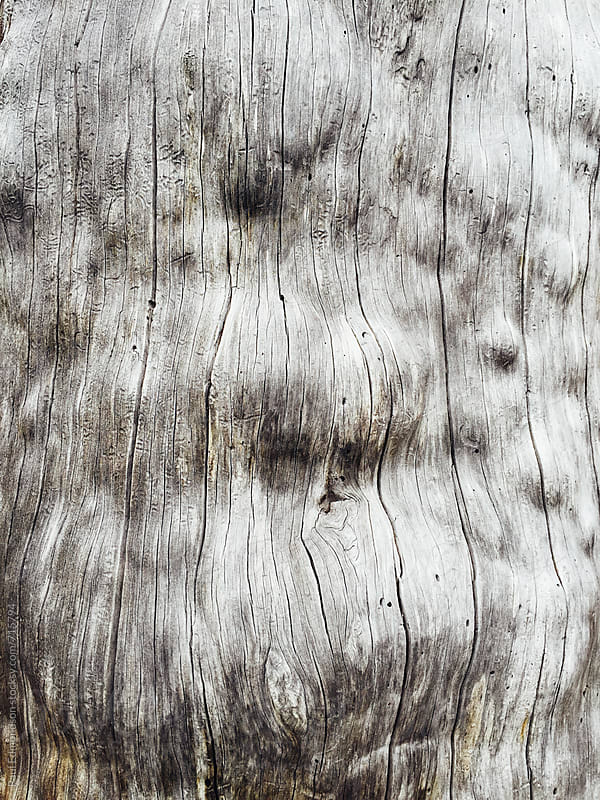 Close up of diseased old growth pine tree by Paul Edmondson for Stocksy United