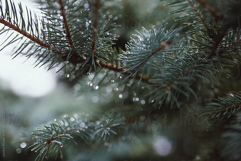 Raindrops on fir by Jovana Rikalo for Stocksy United