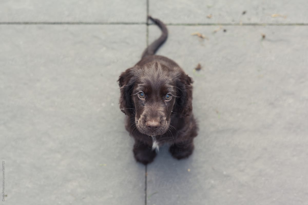 Brown English Cocker Spaniel Puppy Sitting On The Pavement Looking Up By Cindy Prins Stocksy United