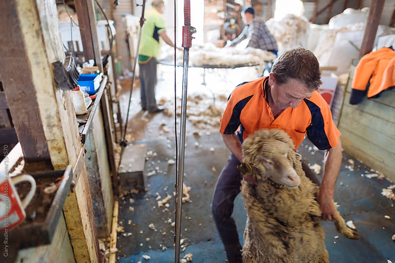 Shearer dragging a Merino Sheep by Gary Radler Photography for Stocksy United