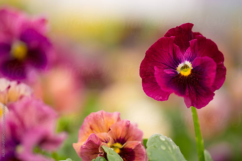 Colorful Violas by alan shapiro for Stocksy United