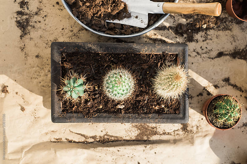 Replanted Little Cactuses From Above by Mosuno for Stocksy United