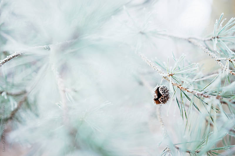 Frost covered Pine needles and branches.  by Liam Grant for Stocksy United