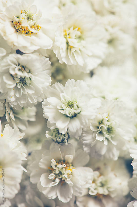 White Flowers by Lumina for Stocksy United