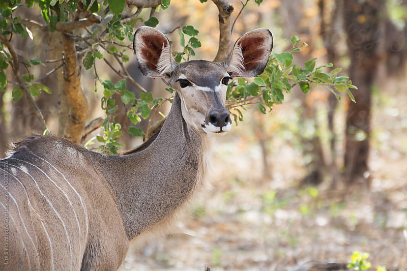 Wild Antelope by Urs Siedentop & Co for Stocksy United