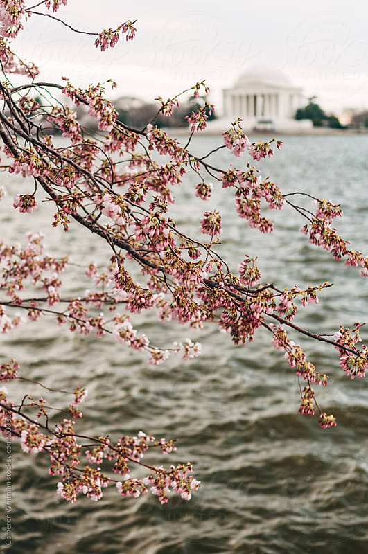 Jefferson Memorial during peak cherry blossom bloom by Cameron Whitman for Stocksy United