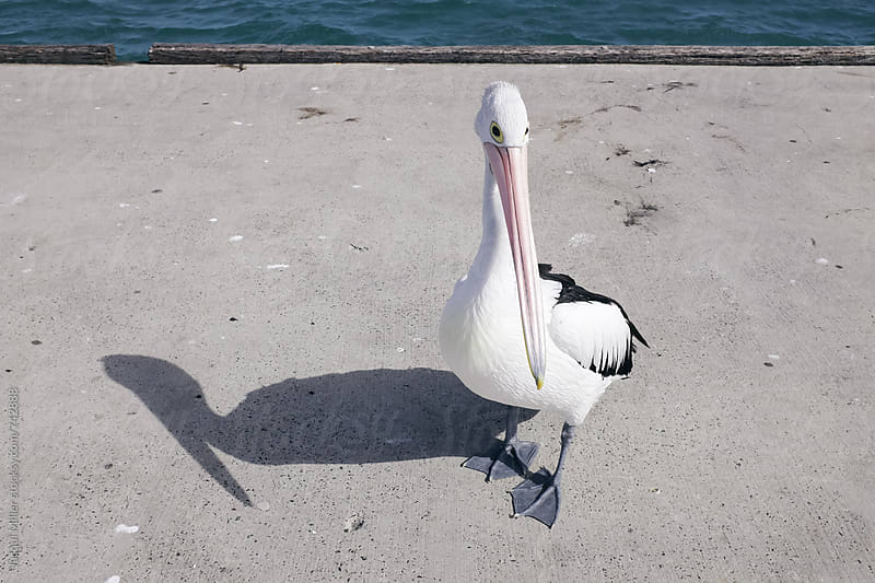 Inquisitive White Pelican looking at camera by Jacqui Miller for Stocksy United