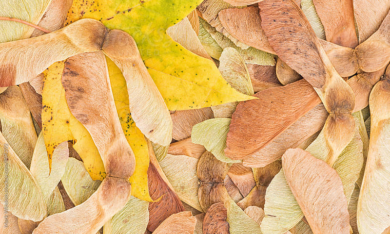 Maple leaf and seed pods in Autumn by Mark Windom for Stocksy United