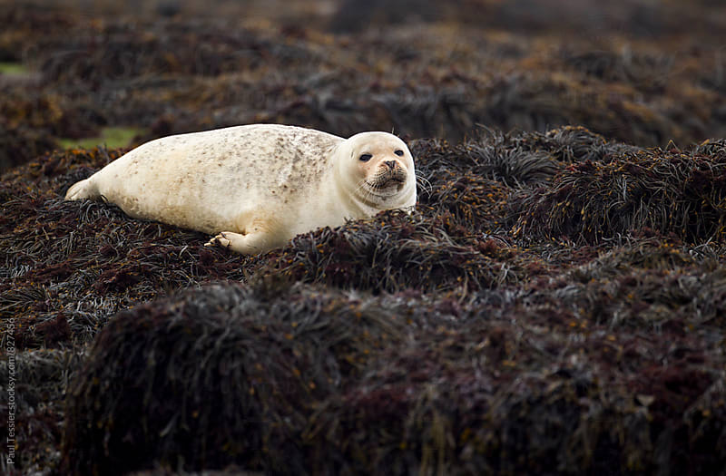 Harbor Seal by Paul Tessier for Stocksy United