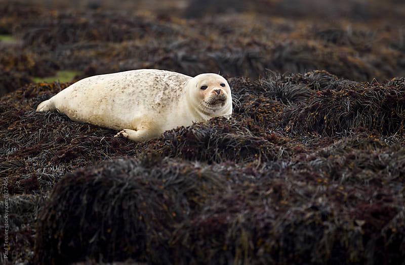 Harbor Seal by Paul Tessier for Stocksy United