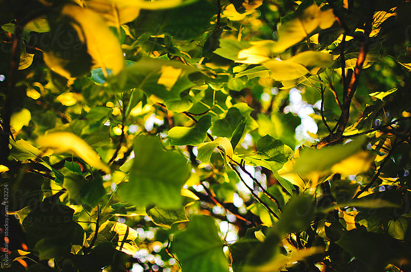 Leaves In Afternoon Sun by Evan Dalen for Stocksy United