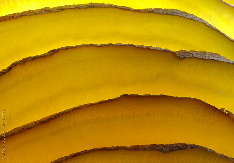 Closeup macrophotograph of layers of a golden turnip (Brassica rapa) by Ron Mellott for Stocksy United