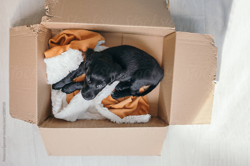 Puppy rests in a chewed cardboard box by Rebecca Spencer for Stocksy United