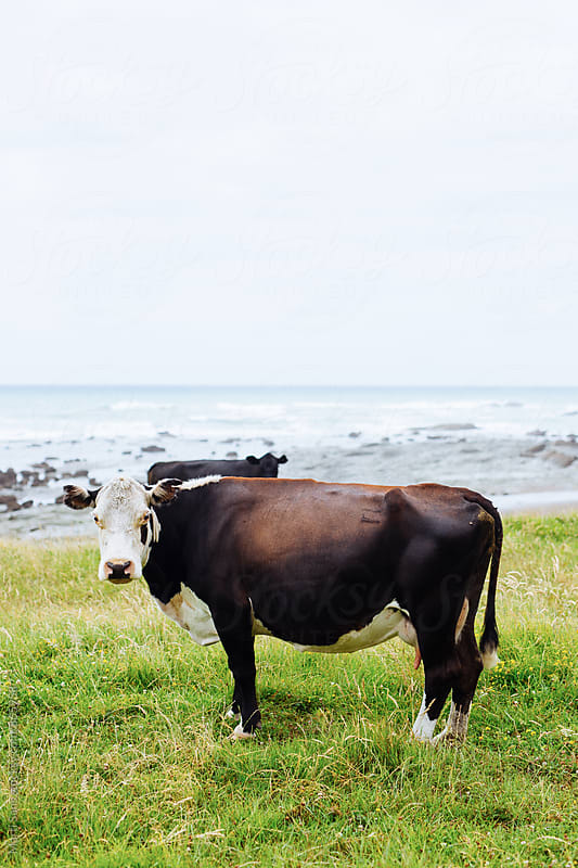 Two cows on coastline by Martí Sans for Stocksy United