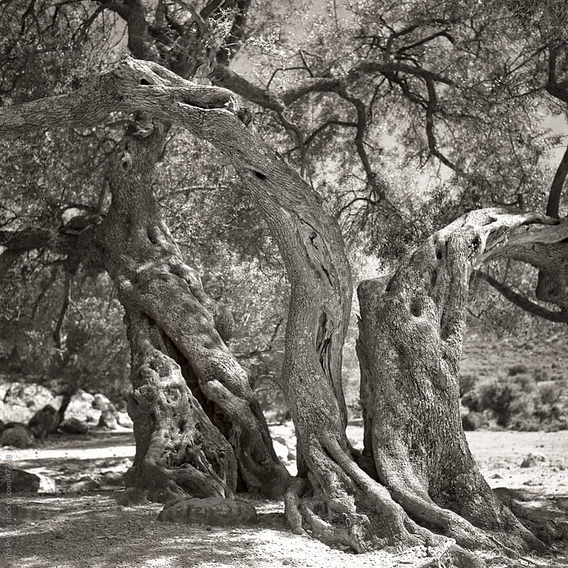 Monochrome image of over 2000 years old olive trees in Sardinia, by Ina Peters for Stocksy United